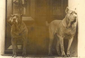 cane corso breeder louisiane , cane corso breeder