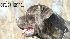 cane corso , cane corso for sale , shipping available