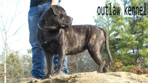 cane corso , for sale , puppies