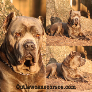 """Outlaw Kennels foundation stud dog """"DIESEL"""" @ 7 years old @ still looking good!!!"""