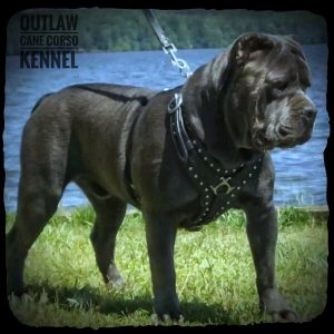 Outlaw Kennel Cane Corso Breeders True Traditional