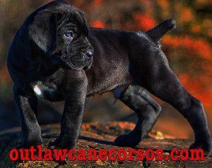 cane corso breeders