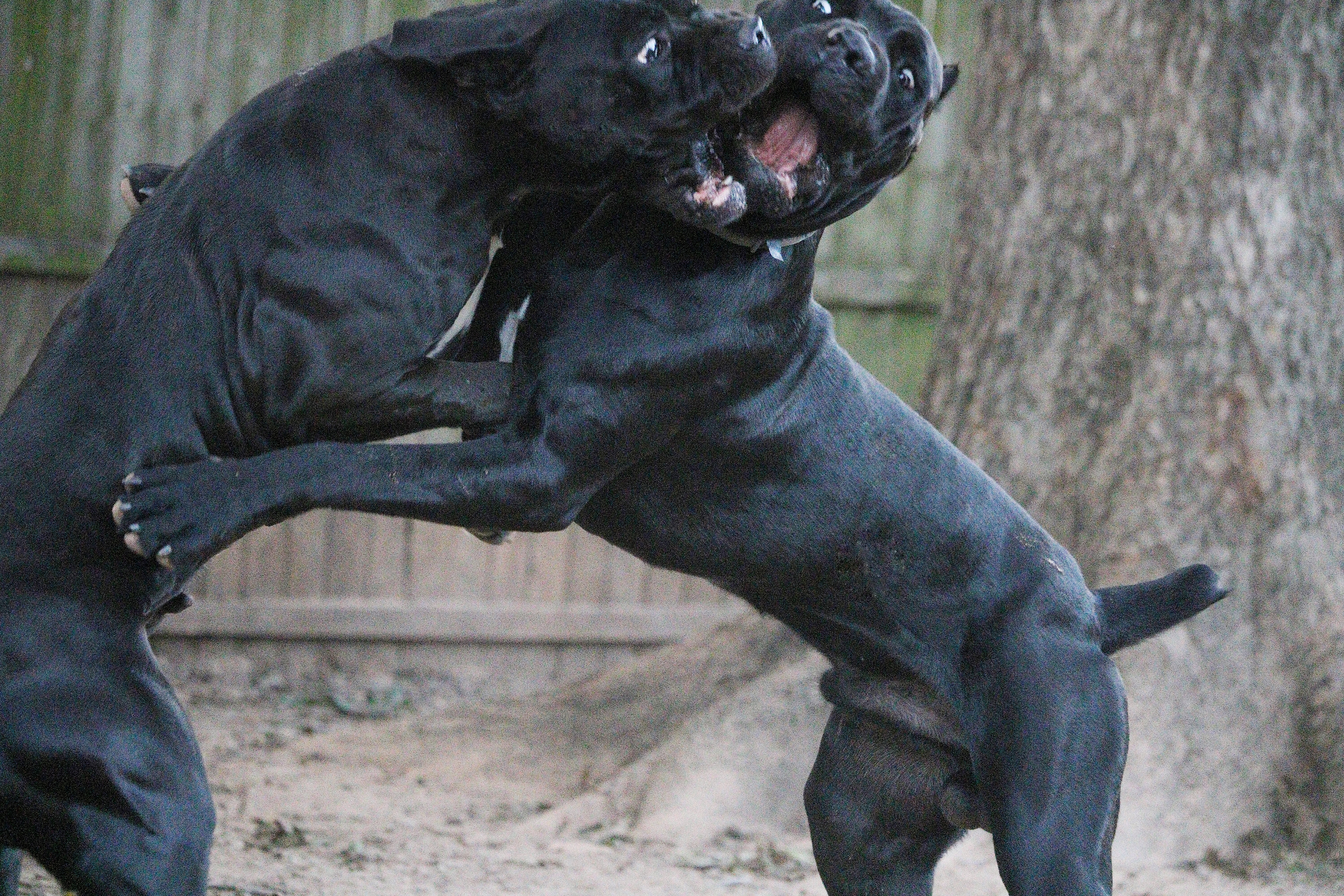 cane corso texas outlaw kennel