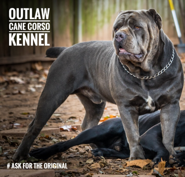 Outlaw Kennel Cane Corso Louisiana