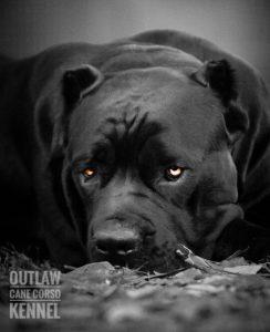 cane corso black