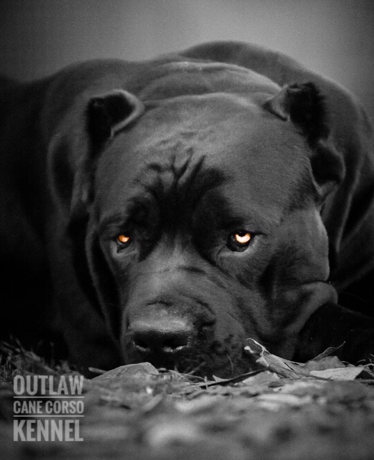 Cane Corso Protection Dog Outlaw Kennel