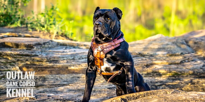 Outlaw Kennel Cane Corso Breeders True Traditional Cane Corso