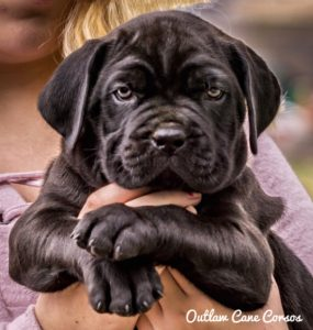 Cane Corso puppy for sale