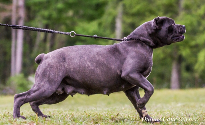 Cane Corso breeder Louisiana