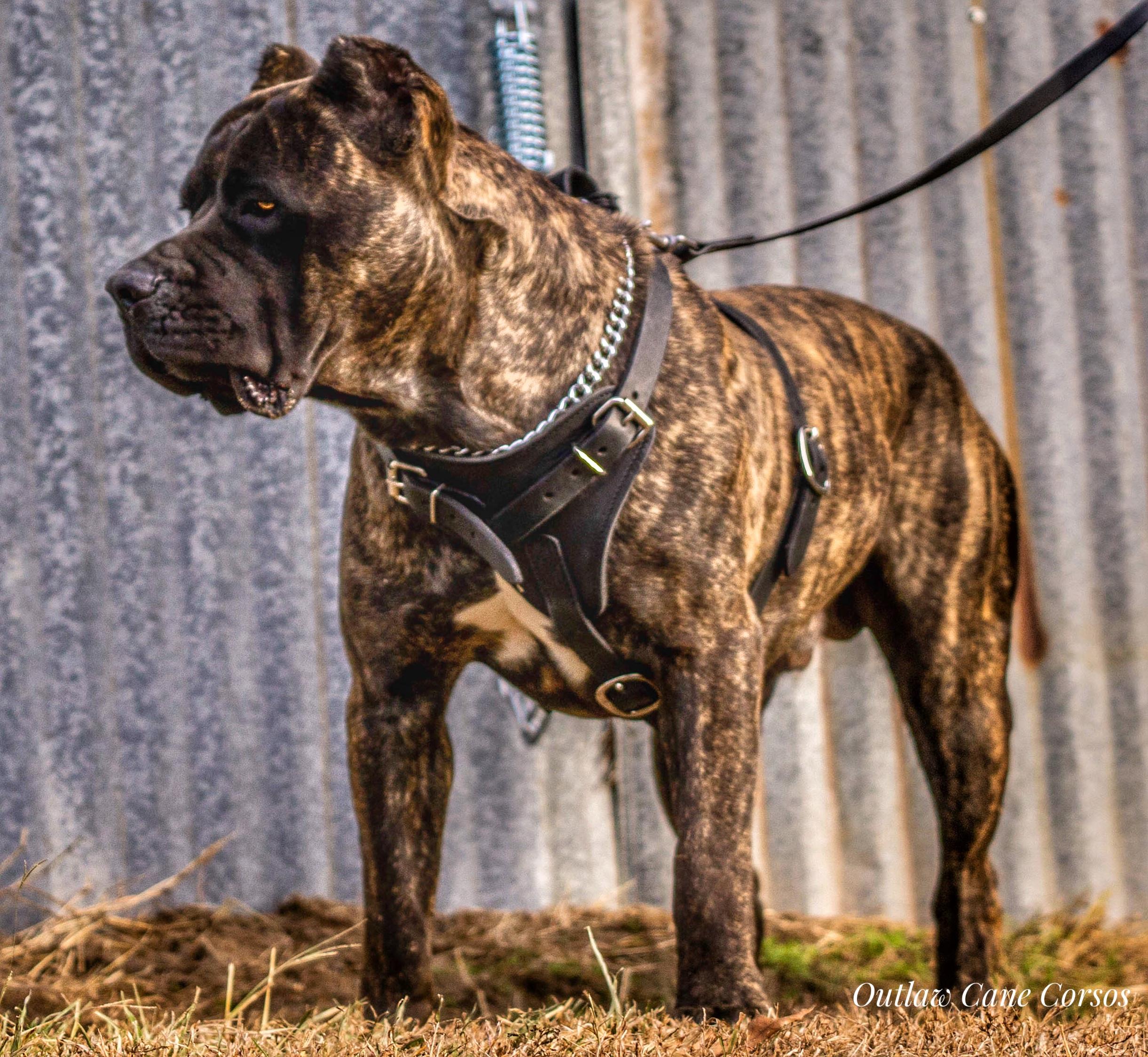 Cane Corso protection dog